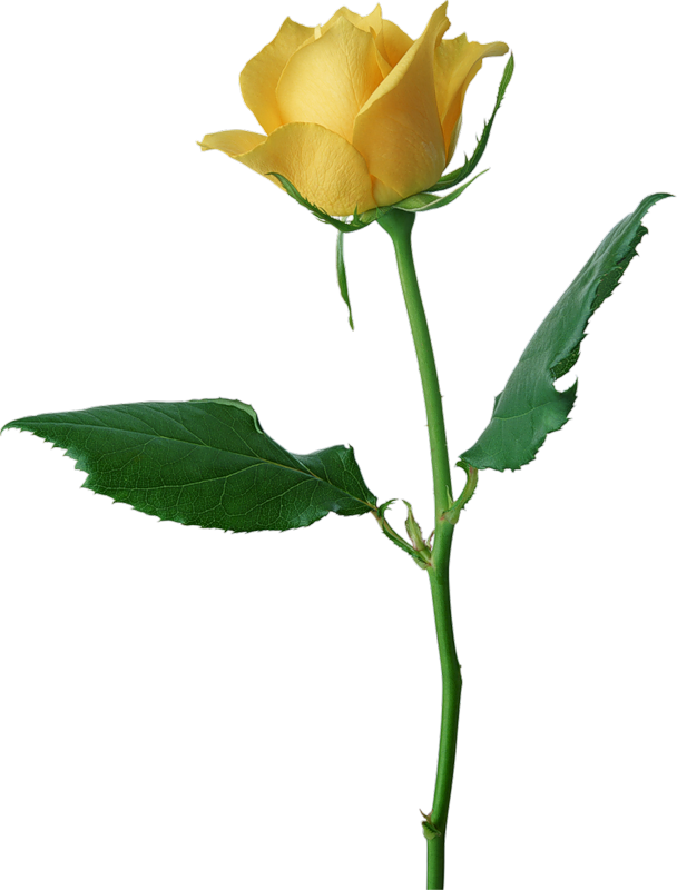 Yellow Flower clipart single flower Clipart drawings Yellow Yellow Rose