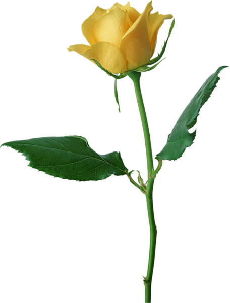 Yellow Rose clipart sweetheart Yellow Large Rose Large PNG