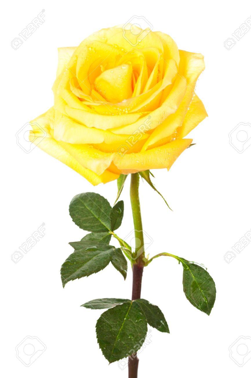 Yellow Rose clipart sweetheart Rose rose art yellow art