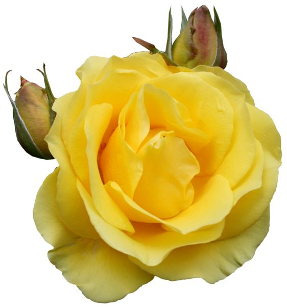 Yellow Rose clipart sweetheart Rose best Floral Yellow Clipart