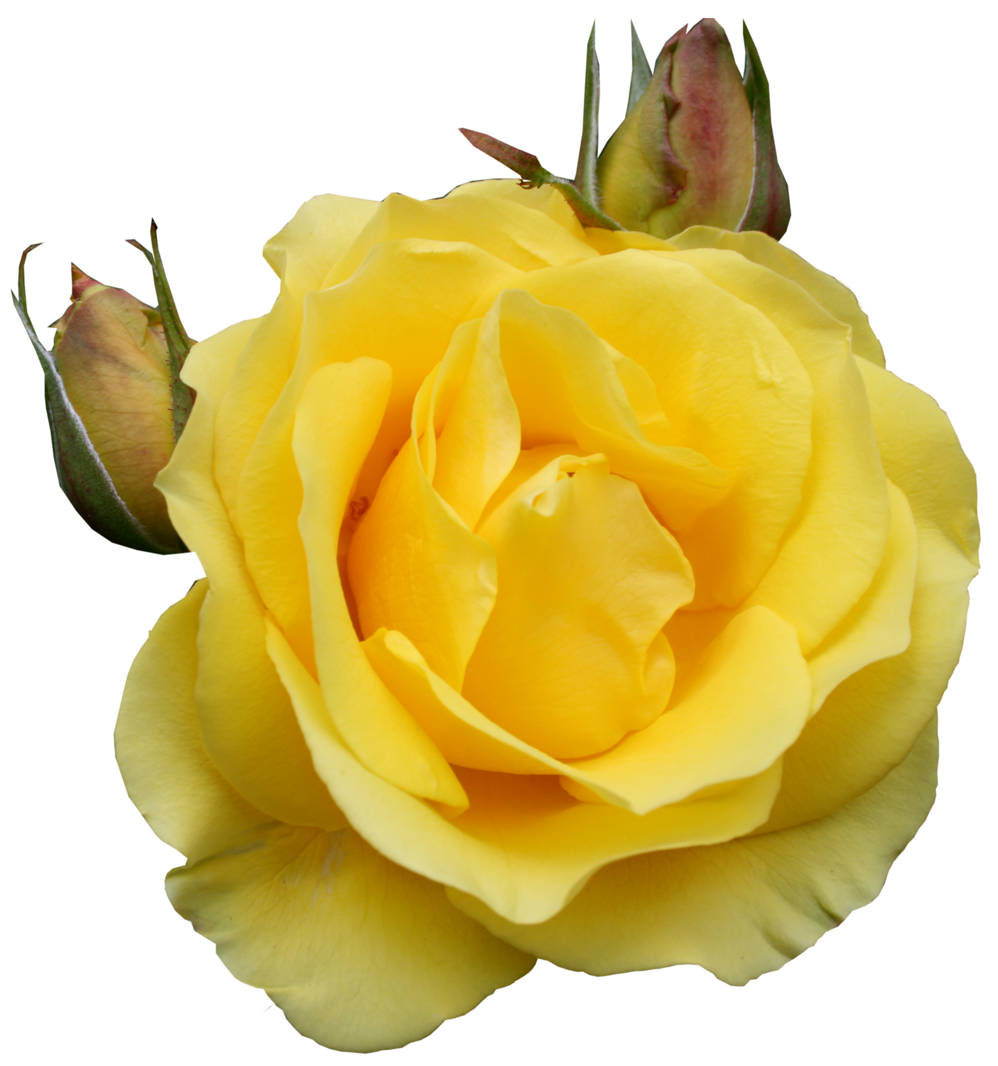 Yellow Rose clipart transparent #14