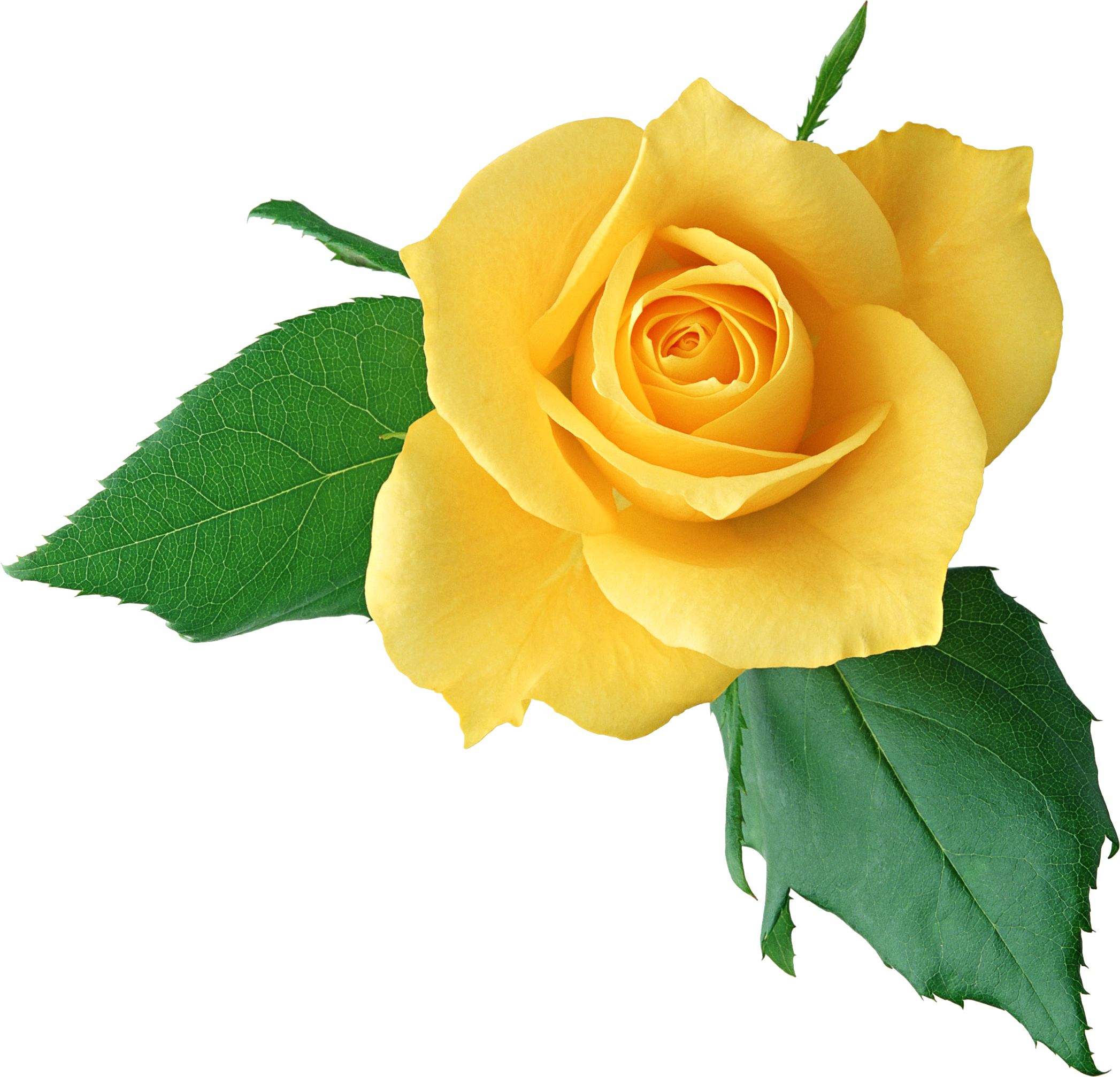 Yellow Rose clipart transparent #6