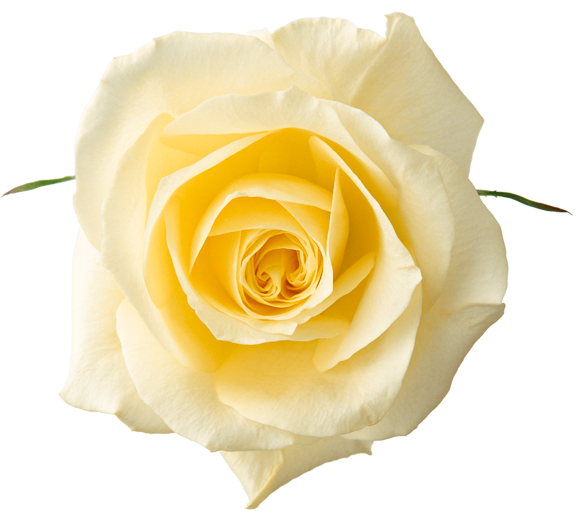 Yellow Rose clipart transparent #5