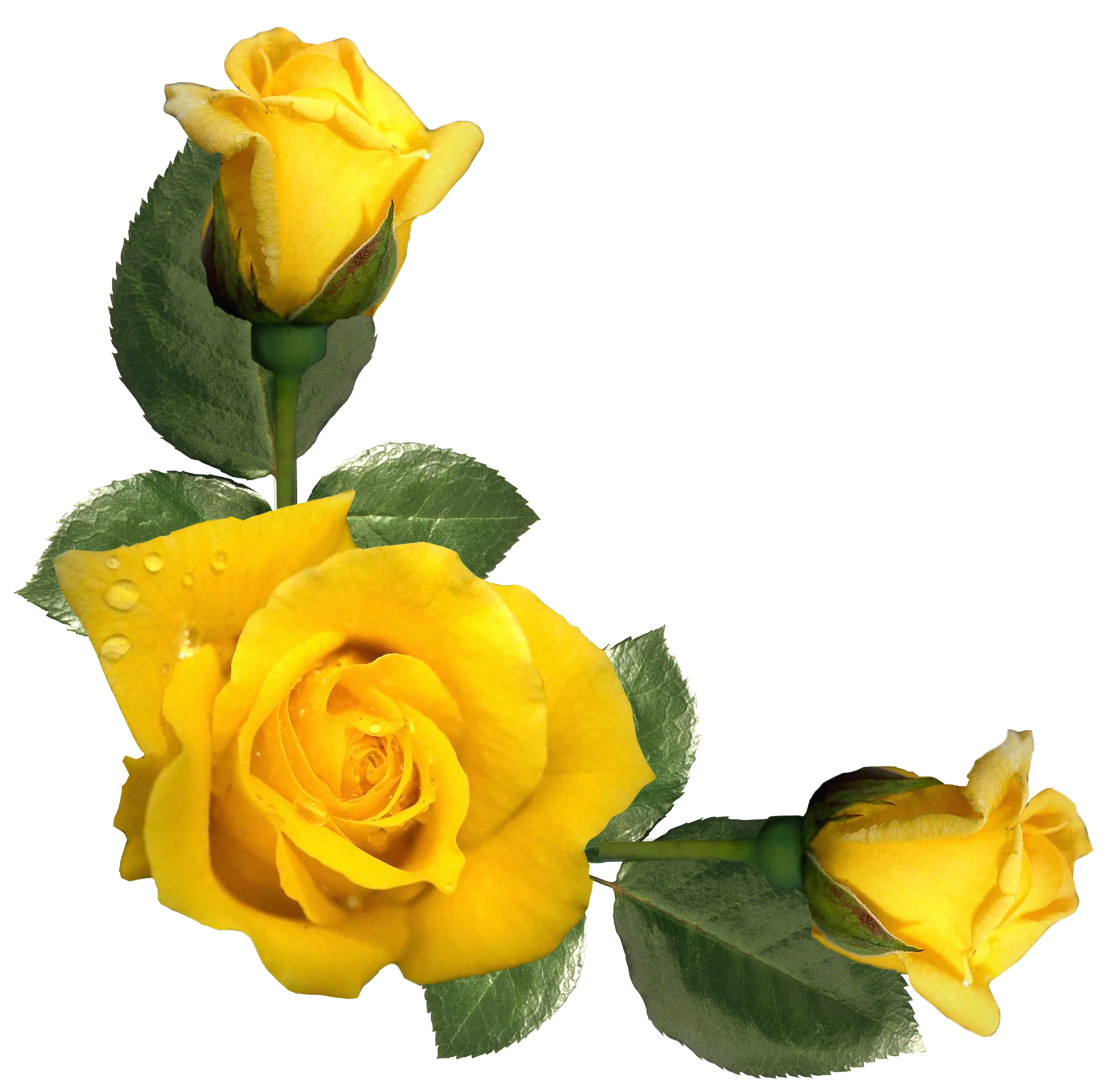 Yellow Rose clipart transparent #10