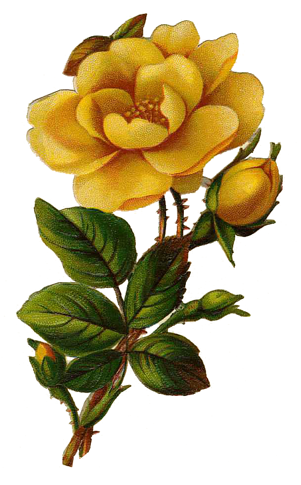 Vintage Flower clipart yellow rose On Images  Designs: Clip