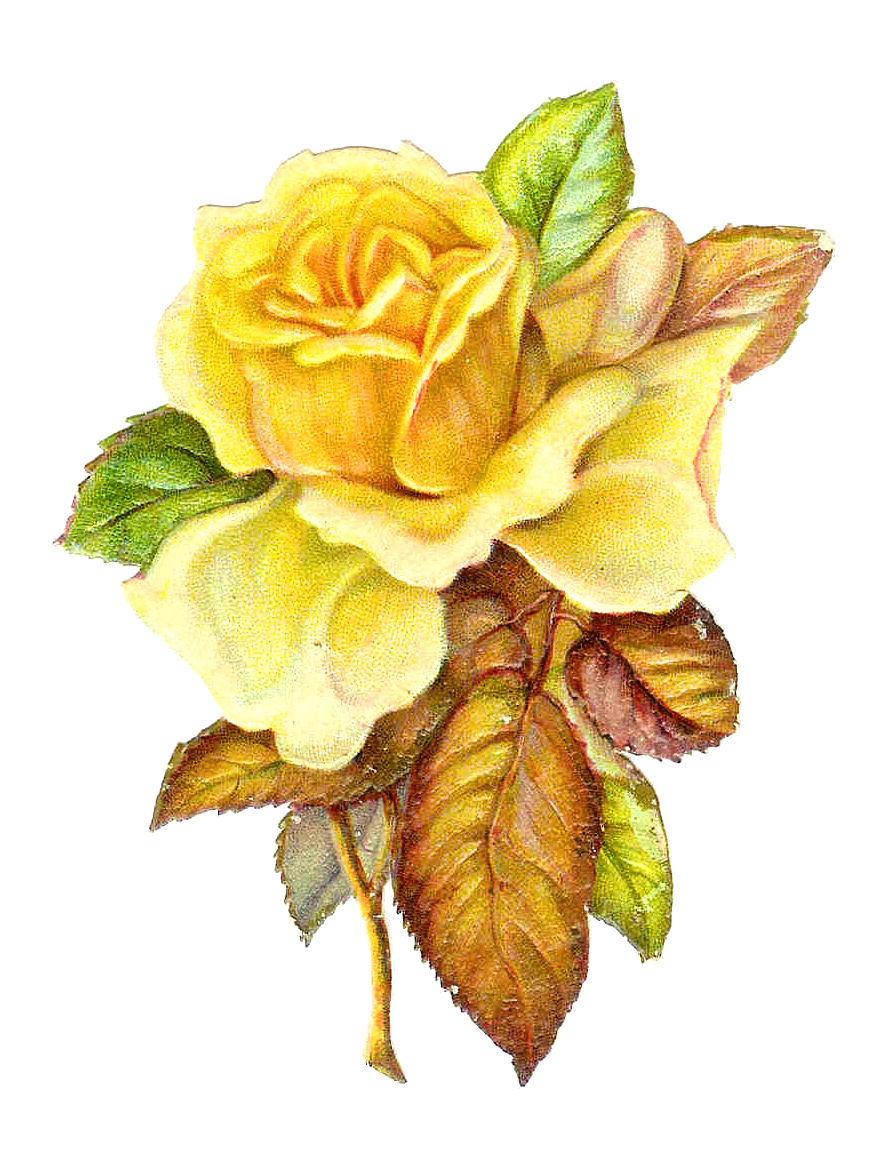 Beautiful clipart yellow rose Single free Victorian Rose Clip