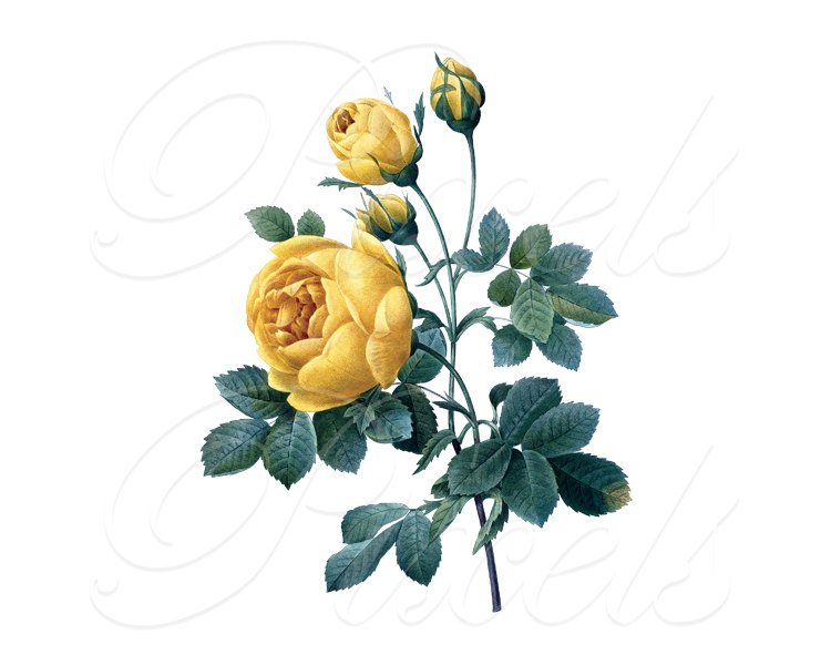 Yellow Rose clipart wedding Is This a Download Image