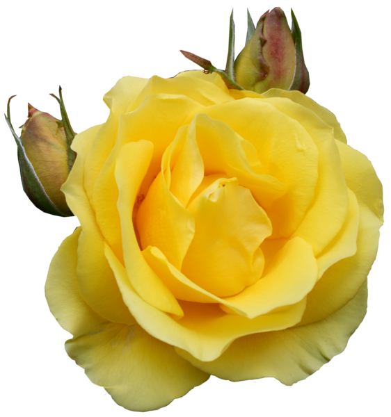 Yellow Rose clipart yellow bouquet Pinterest Clipart Flowers PNG Clipart