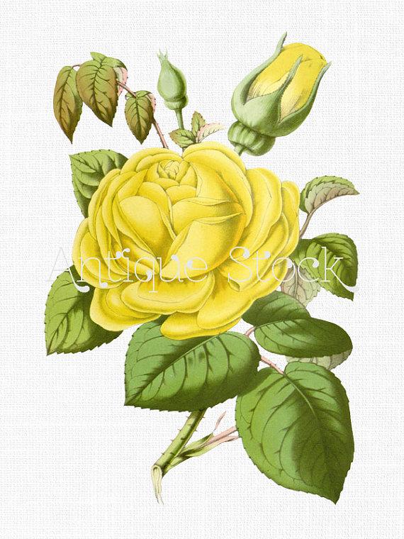 Yellow Rose clipart yelow Isabella Prints Gray Gray Yellow