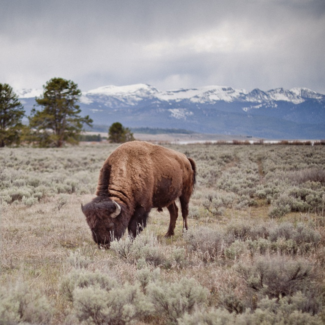 Yellowstone clipart wildlife biologist Images and Yellowstone best my