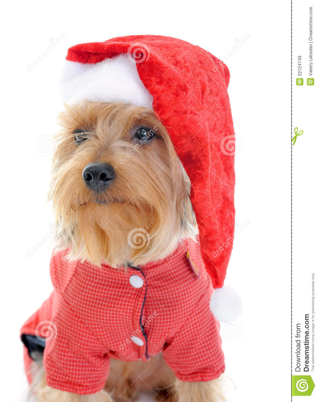 Yorkies clipart christmas Clipart Isolated Clipart cps Yorkie