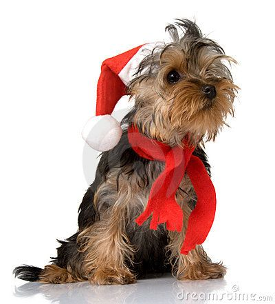 Yorkies clipart christmas Christmas best on yorkies images