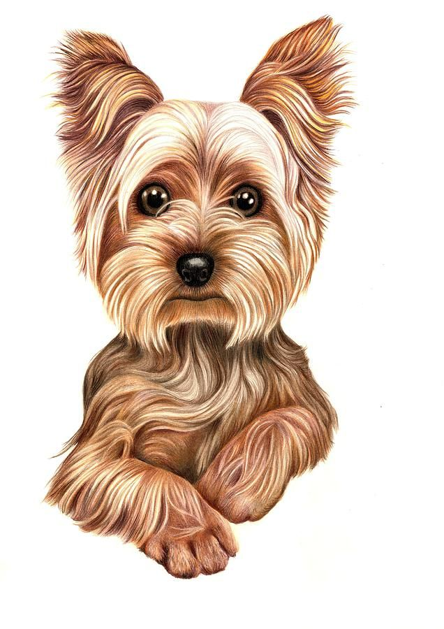 Yorkies clipart cute Yorkshire Yorkies 520 Meet From