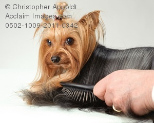 Yorkies clipart pet Being stock groomed Acclaim yorkie