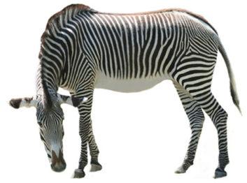 Zebra clipart big Art Images Zebra Animal 6944