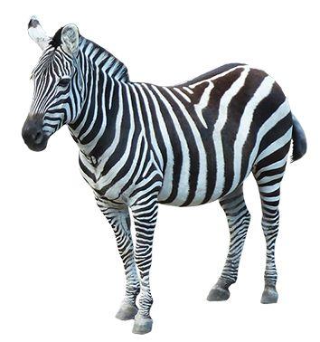 Zebra clipart colored Zebra Clipart 55 clip art