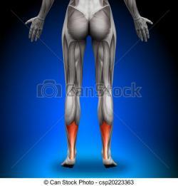 Achilles clipart achilles tendon