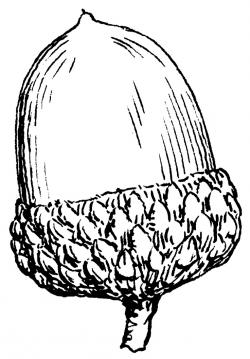 Drawn squirrel acorn clipart