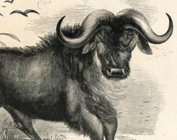 Wildebeest clipart african buffalo