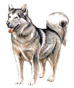 Akita clipart color