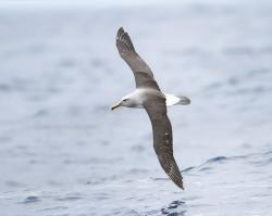 Albatross clipart gosling