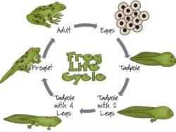 Tadpole clipart frog life cycle
