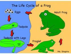 Tadpole clipart frog metamorphosis