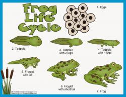 Tadpole clipart frog stage