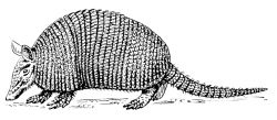 Aardvark clipart Armadillo Clipart Black and White