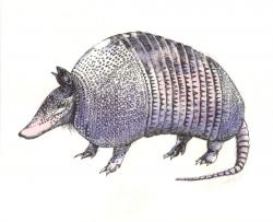 Armadillo clipart standing