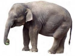 Asian Elephant clipart different