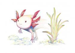 Axolotl clipart giant
