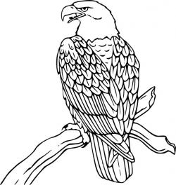 Drawn bald eagle