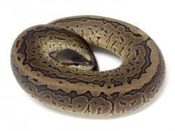 Ball Python clipart