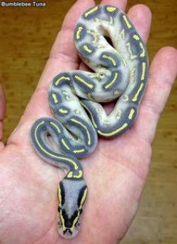 Ball Python clipart full size