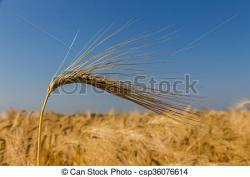 Barley clipart harvest