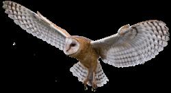 Cooper's Hawk clipart
