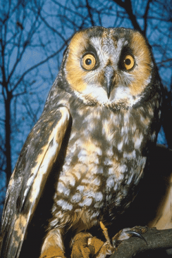 Barred Owl clipart nocturnal animal