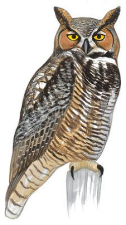 Horned Owl clipart