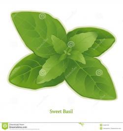 Basil clipart