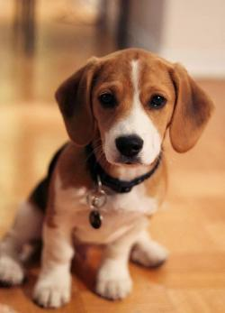 Beagle clipart outgoing personality