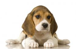 Beagle clipart therapy dog