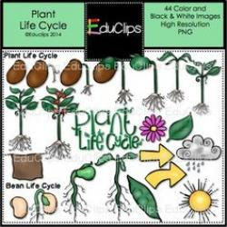 Lima Beans clipart plant life cycle