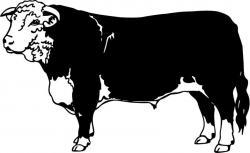 Drawn bulls