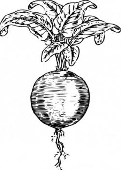 Beet clipart