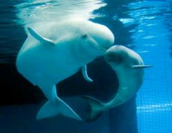 Beluga Whale clipart water animal