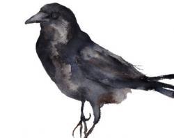 Crow clipart black bird