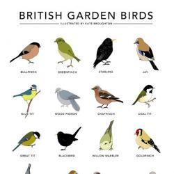 Blackbird clipart british