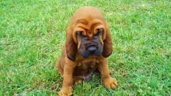Bloodhound clipart puppy