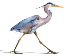 Green Heron clipart watercolor